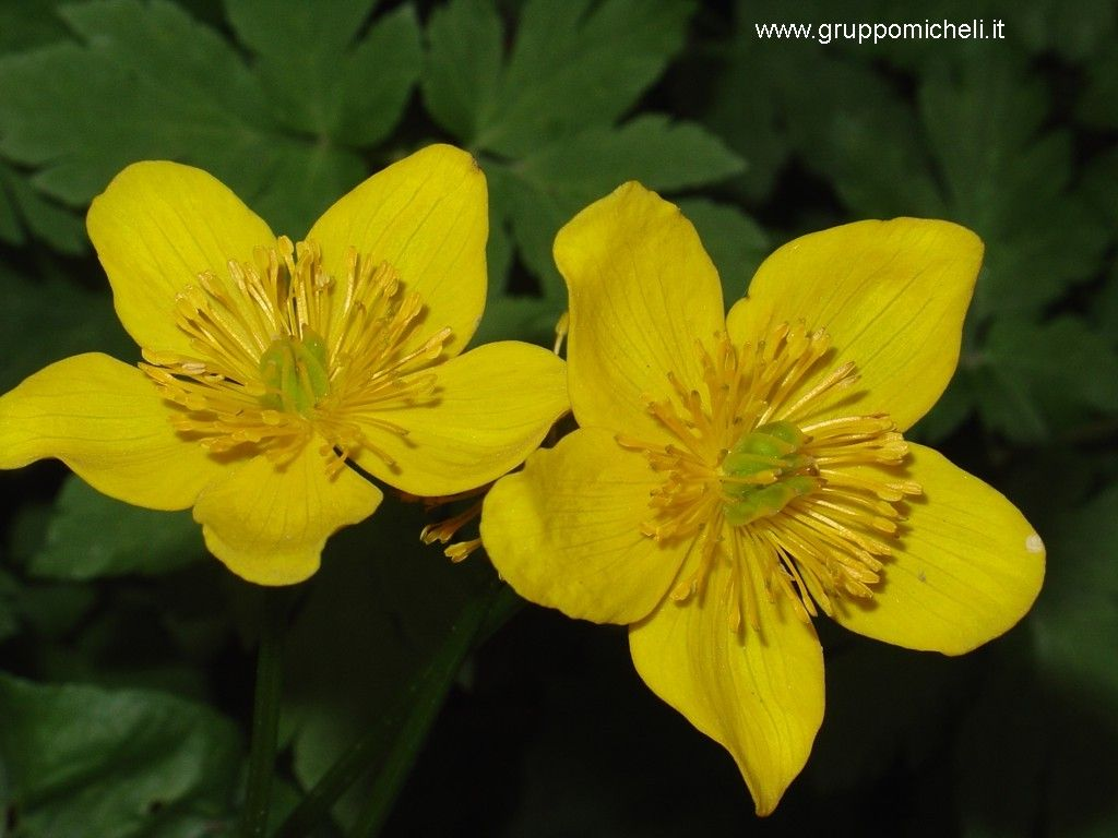 fiore giallo 10 petali