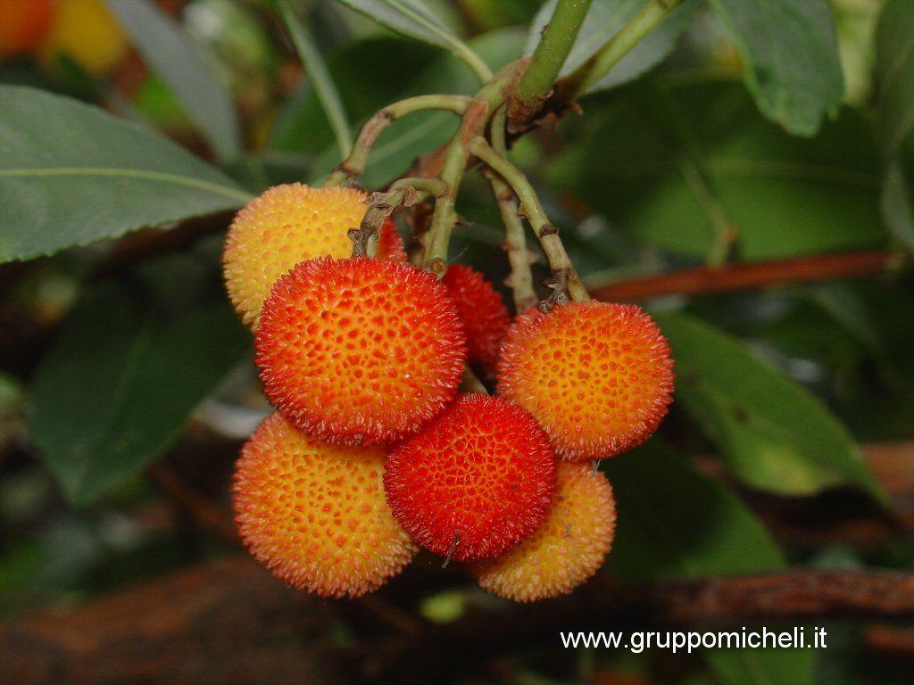 Galleria delle piante e fiori for Pianta ornamentale con fiori a grappolo profumatissimi