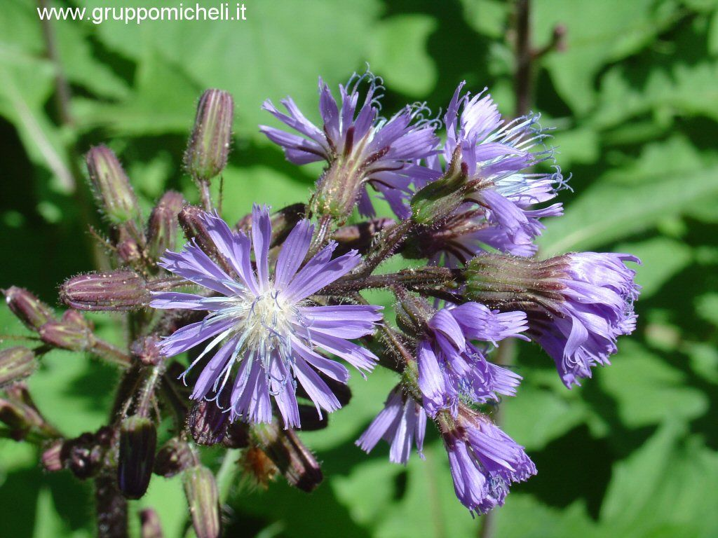 Galleria delle piante e fiori for Pianta rampicante con fiori viola a grappolo